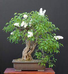 Garden lilac (Syringa vulgaris) 75 cm -Wow!