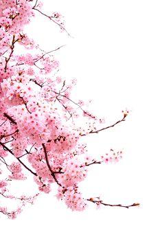 """drxgonfly: """" Sakura Cherry Blossom (by Kanji Uno) """" Cherry Blossom Wallpaper, Cherry Blossom Watercolor, Cherry Flower, Sakura Cherry Blossom, Watercolor Flowers, Cherry Blossom Background, Cherry Blossom Drawing, Cherry Tree, Tree Wallpaper"""