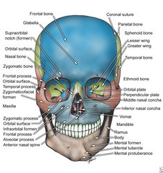 VISCEROCRANIUM INDEX A total of 55 items Maxillae Alveolar process of maxilla (Figure 1) Anterior nasal spine (Figure 1) Frontal processs of maxilla (Figures 1 & 6) Inferior orbital fissure (Fi…