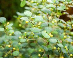 ficus deltoidea aka ficus diversifolia aka mistletoe fig
