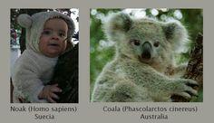 Some similarities between a Coala and a homo sapiens.