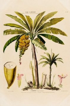 Le Bananier Tropical Banana Tree Flore D Amerique Metal Print by Vintage Botanical Gallery Vintage Botanical Prints, Botanical Wall Art, Botanical Drawings, Botanical Posters, Illustration Botanique Vintage, Impressions Botaniques, Fruit Illustration, Vintage Wall Art, Vintage Art Prints