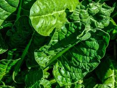 Spinach  is great to grow in cool weather. Add it salads orsautewith garlic for ahearty winter feast.