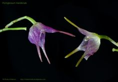 Porroglossum meridionale, Ortiz 1976.
