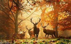 Naturaleza árboles del bosque del otoño animales ciervos fondo de pantalla…