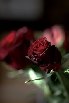 Beautiful Flowers Photos, Beautiful Red Roses, Flower Photos, Pretty Flowers, Love Wallpaper, Nature Wallpaper, Aesthetic Roses, Rose Family, Shades Of Red