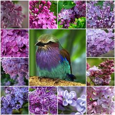 Lilacs in different shades - Collages Wallpaper ID 1429126 - Desktop Nexus Abstract Beautiful Collage, Beautiful Birds, Purple Lilac, Shades Of Purple, Lilac Tree, Pretty Flowers, Purple Flowers, Dwarf Lilac, Lilac Breasted Roller