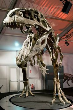 #Giganotosaurus carolinii #dinosaur #theropod