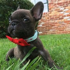 Tyrion (@tyrionthewonderfrenchie) • Instagram photos and videos bowties are cool
