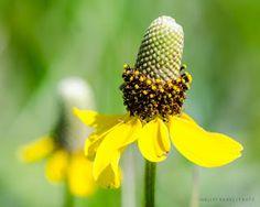 Prairie Wildflowers: Prairie Coneflowers: Gold in July grasses
