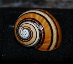 ©Cuban Land Snail (Polymita picta)   Painted Snail. Caracol pintado ...