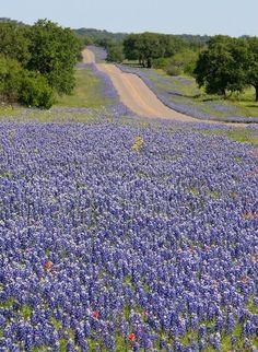 Bluebonnet season in Texas!