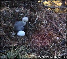 The Joy of Bird Watching and Living a Simple Life: Berry College Eagle Cam