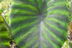 Colocasia 'Madiera' - Plants Nouveau Site Types Of Plants, Tropical Plants, Plant Leaves, Pictures, Garden, Garten, Gardening, Outdoor, Home Landscaping