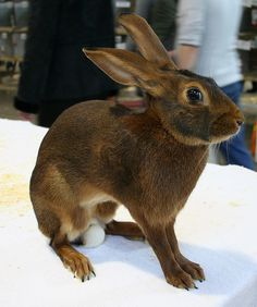 A Belgian Hare is actually a breed of rabbit and not a hare at all. It is so named because of it's sleek and leggy appearance.