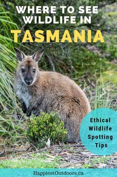 Best Places to See Wildlife in Tasmania Australia. How to see Tasmania's unique animals in the wild. Ethical wildlife travel in Tasmania - no zoos! Where to spot wombats wallabies pademelons whales and more in Tasmania Australia. Visit Australia, Australia Travel, Queensland Australia, Western Australia, Bruny Island, Dawn And Dusk, New Zealand Travel, Unique Animals, Best Hikes
