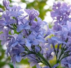 Syringa Vulgaris President Grevy French Lilac Plant Supplied in a Pot Lilac Plant, Cute Potato, Syringa Vulgaris, French Lilac, Shades Of Light Blue, Foundation Planting, Plant Catalogs, Thing 1, Garden Trellis