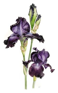 Botanical Drawings | botanic art sits at an interface between art and science although the ...