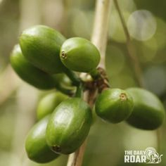 Love coffee? Then this is a must read on kopi luwak. #coffee #philippines #kopiluwak