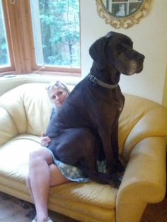 Danes think they're lap dogs