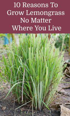 Edible Garden, Easy Garden, Lawn And Garden, Garden Ideas, Perennial Vegetables, Growing Vegetables, Perennial Plant, Growing Seeds, Growing Plants