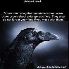 Did YOU know this is a RAVEN and NOT a crow?  O.o