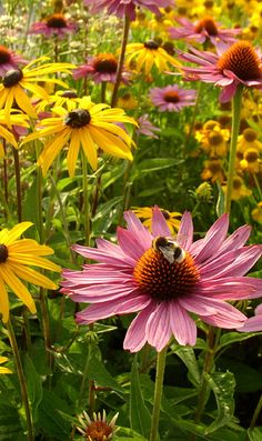 Black eyed Susan and Purple Coneflowers- mix Slammin Susans & Purple Chill Pills by Live Mulch to get this perennial garden  #echinacea #black eyed Susans