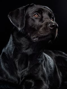 553 LABRADORS My best dogs ever images in 2019 | Cutest animals