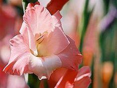 Gladíolo (Gladiolus x hortulanus)