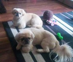 Newt and Ripley is an adoptable Pekingese Dog in Chatham, ON. Meet the newest adorable little faces who came to our rescue Saturday, Nov 3/12. Their owner could no longer keep them and entrusted our r...