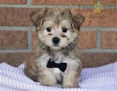 #Morkie #Charming #PinterestPuppies #PuppiesOfPinterest #Puppy #Puppies #Pups #Pup #Funloving #Sweet #PuppyLove #Cute #Cuddly #Adorable #ForTheLoveOfADog #MansBestFriend #Animals #Dog #Pet #Pets #ChildrenFriendly #PuppyandChildren #ChildandPuppy #LancasterPuppies www.LancasterPuppies.com