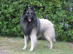 Belgian Shepherd Dog - Tervueren Dog Profile of NZ Champion Beljekali ...