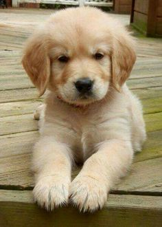 Golden retriever puppy, cross stitch pattern, counted cross stitch, puppy cross stitch, golden puppy - Cats and Dogs House Cute Baby Animals, Animals And Pets, Funny Animals, Cute Baby Dogs, Lil Baby, Funny Dogs, Cute Dogs And Puppies, I Love Dogs, Doggies
