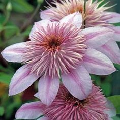 Clematis 'Empress'™' Evipo011[N], Prune Group 2 - Prune lightly above the new leaf buds in early spring and remove any dead or weak stems. Early flowers appear on previous season's growth while late summer flowers appear on new growth.