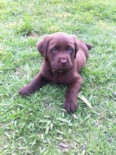 I'm getting a chocolate lab, and I will call him Ruger!