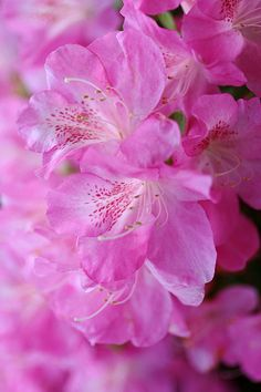 "Azalea(TSUTSUJI) ✮✮Feel free to share on Pinterest"" ♥ღ www.organicgardenandhomes.com"