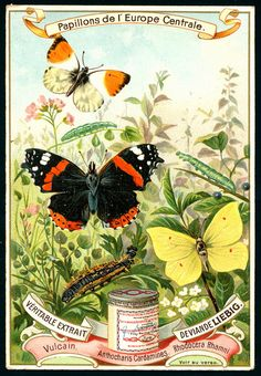 """Liebig European Butterflies Liebig's Beef Extract """"Butterflies of Central Europe"""" Belgian issue, 1897 Vintage Labels, Vintage Cards, Vintage Images, Butterfly Painting, Butterfly Art, Butterflies, Butterfly House, Europe Centrale, Nature Posters"""