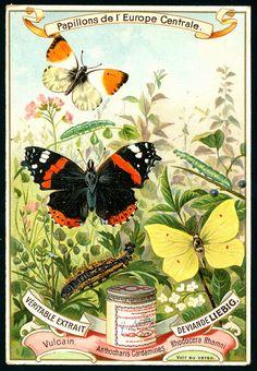 Liebig S518 European Butterflies #3 | Liebig's Beef Extract … | Flickr