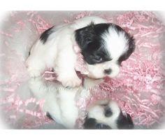 Black & White Imperial Shih Tzu Puppies.