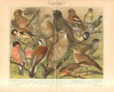 1897 Singing Birds, Nightingale, Blackcap, Shrike, Redwing, Starling, Goldfinch, Linnet, Bullfinch, Skylark, Bluetit Antique Lithograph