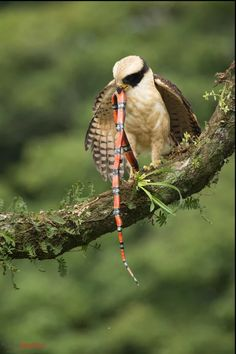 Laughing Falcon (Herpetotheres cachinnans) with snake prey at the lowlands of Costa Rica