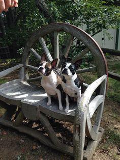<3 Boston Terriers