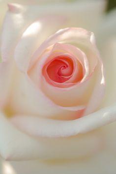 White Rose by tatsuo yamaguchi
