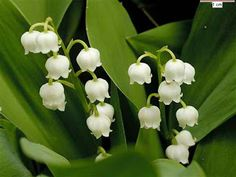 Lily of the Valley - national flower of Yugoslavia