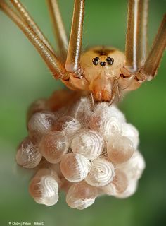 A spider mother and her babies.