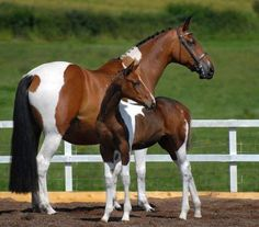 Tobiano mare and foal. I LOVE flashy warmbloods!