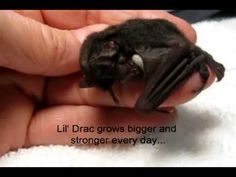 This Cute Baby Bat is Amazing...