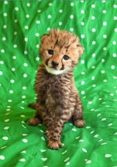 Amazing friendship between Cheetah cub Kasi and a Labrador puppy Mtani
