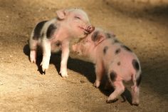 """Five micropigs born to mother, """"Truffel"""", are seen in Zoo Wuppertal on August 11, 2014 in Wuppertal, Germany.  The five micropigs are the ma..."""