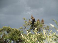 Rüppelsgieren,  Massai Mara, Kenya